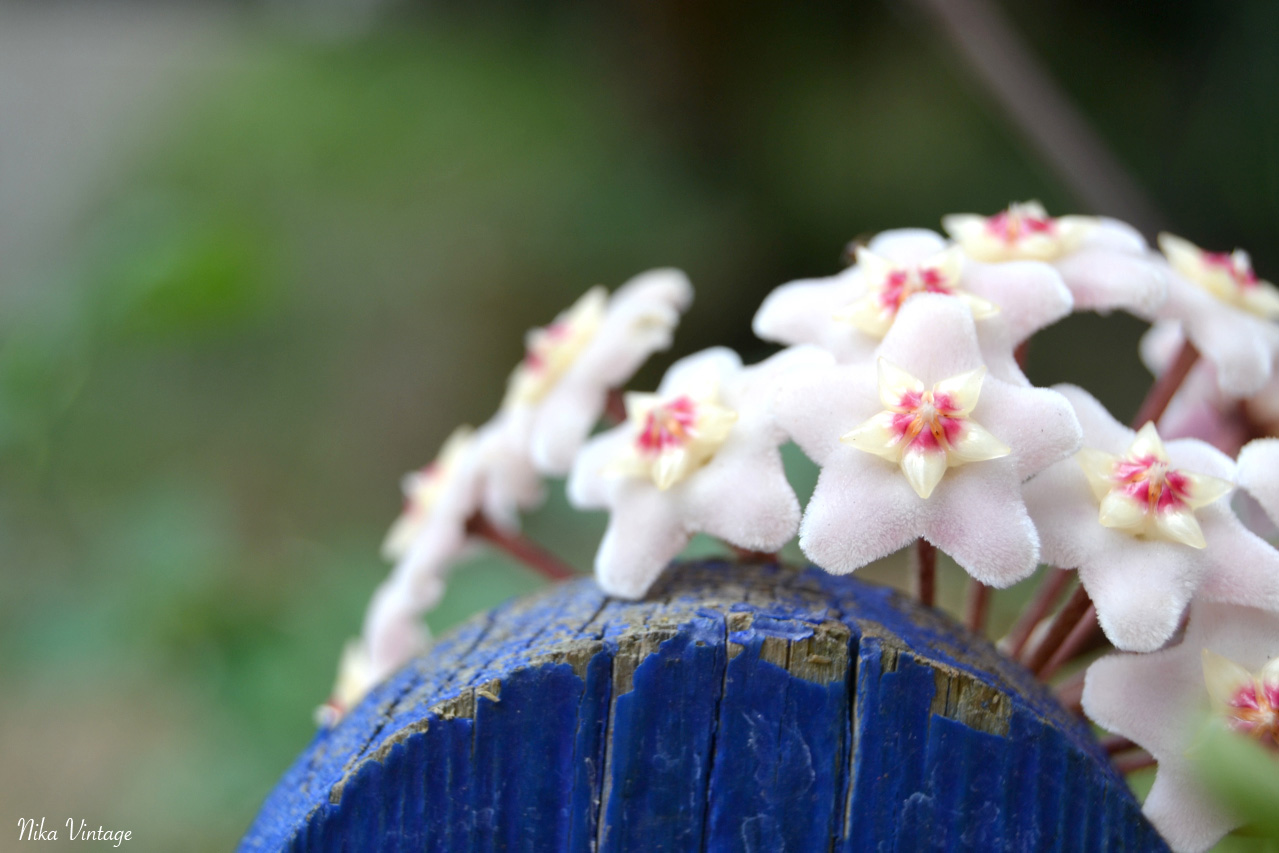 Flor de cera, Hoya carnosa, PLANTA, TREPADORA, FOTOGRAFIA,