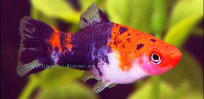 Showa (Koi) Swordtails | Showa Swordtails