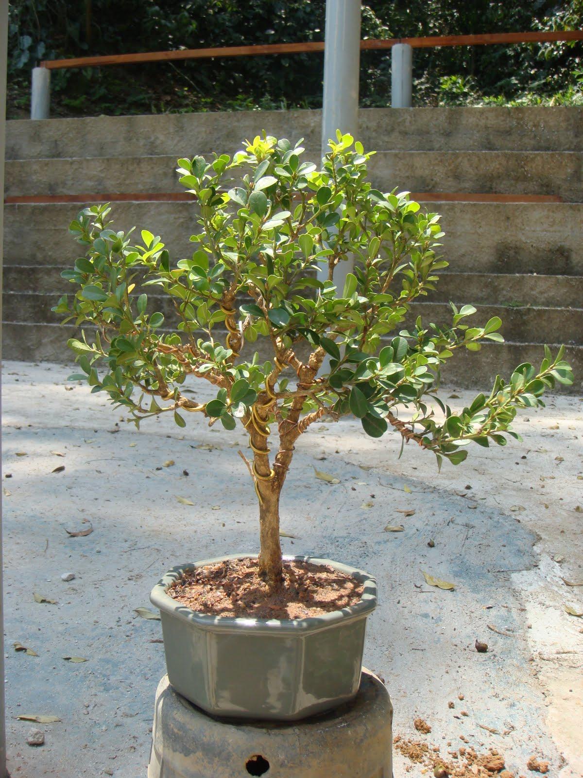 bonsai da serra 2011