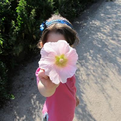 mallow flower, цветы