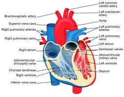 Obat Tradisional Jantung