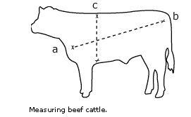 Độ dài thân chéo và vòng ngực trâu bò