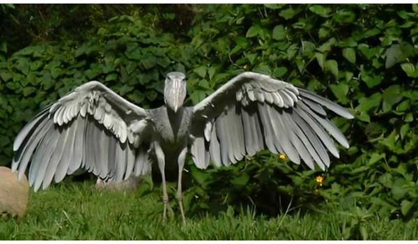 Pelicano Picozapato