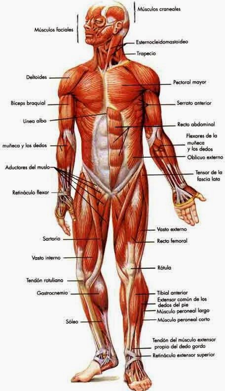 Physical Education The Main Muscles Of The Human Body