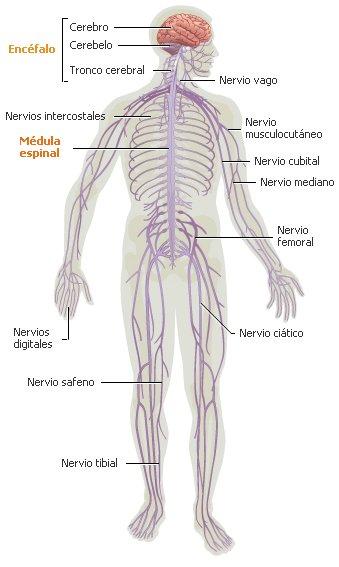 El asombroso sistema nervioso humano | Naturaleza asombrosa ...