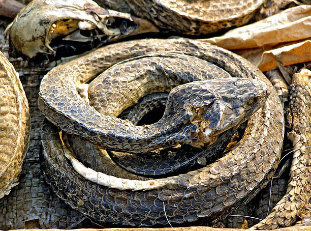 dead snakes dried for selling in voodoo fetish market