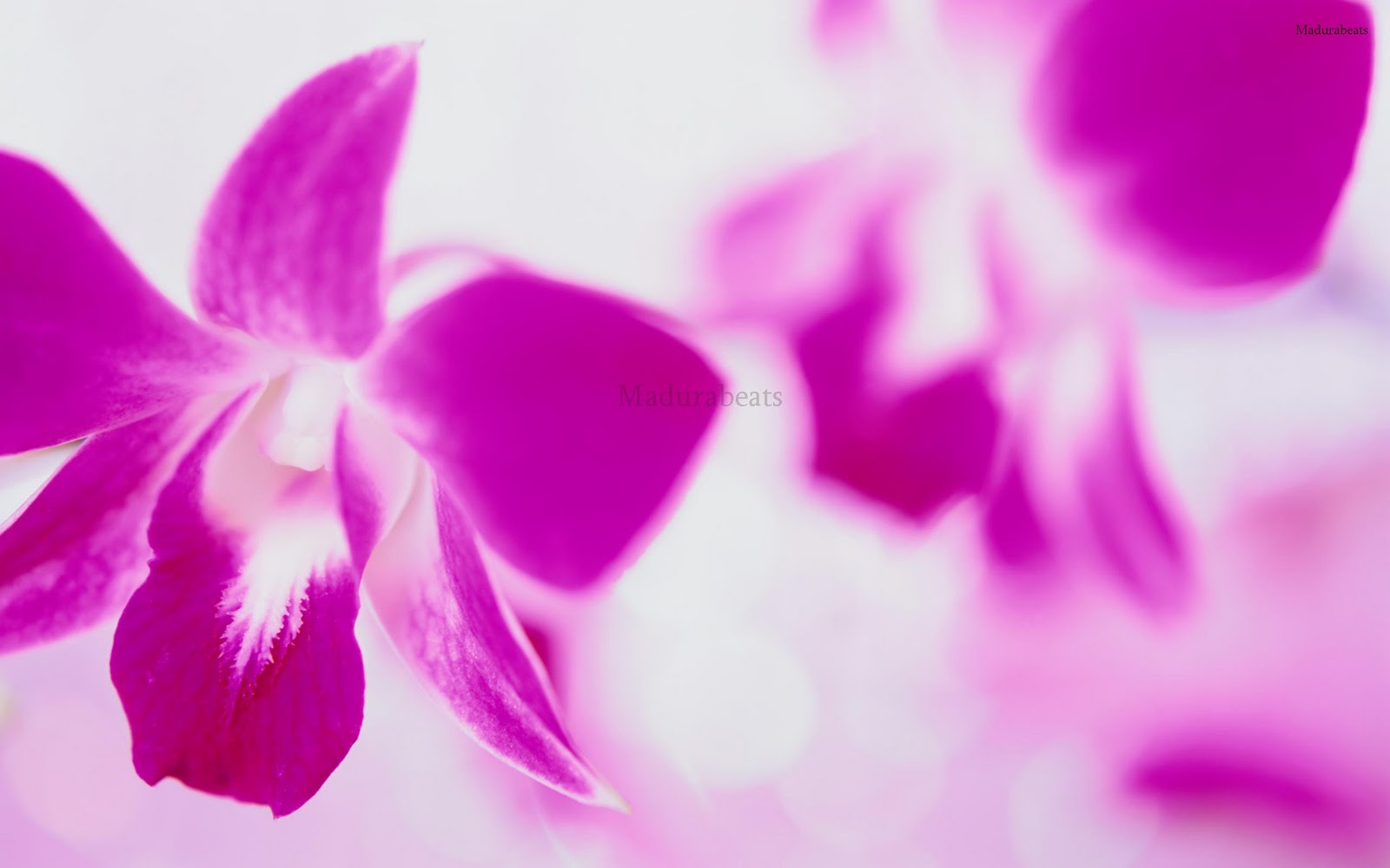 Purple flower with white background,Flower images, Wide screen wallpapers,fresh flowers,Beautiful flowers