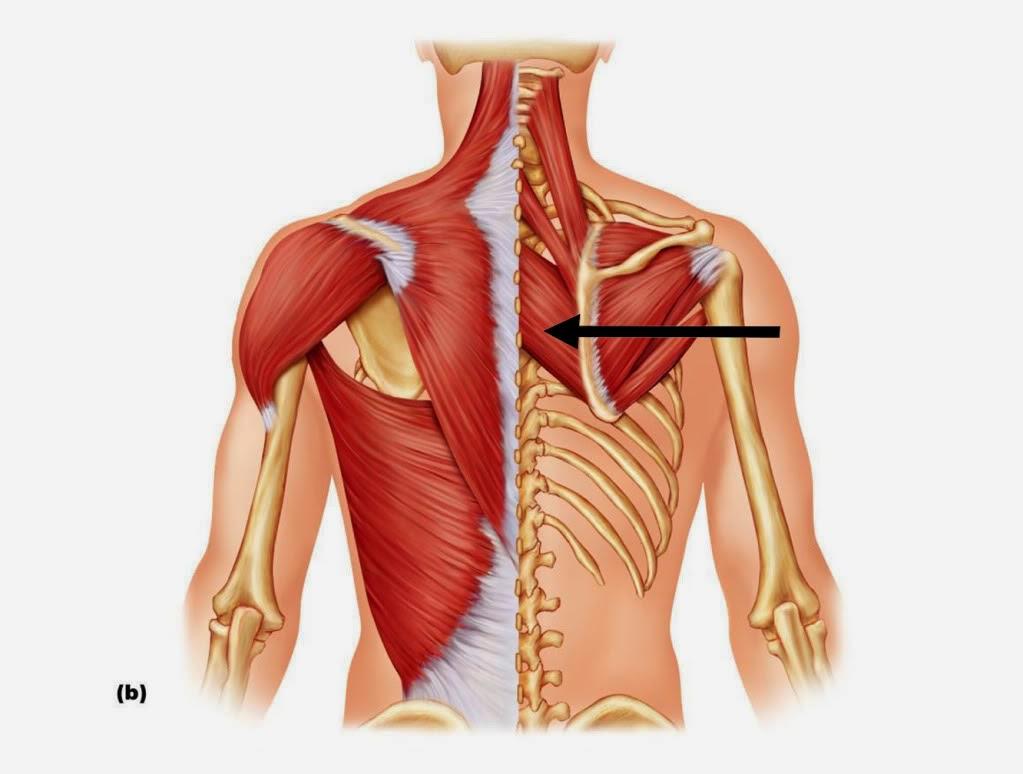 La grasa de oso para el tratamiento de la columna vertebral