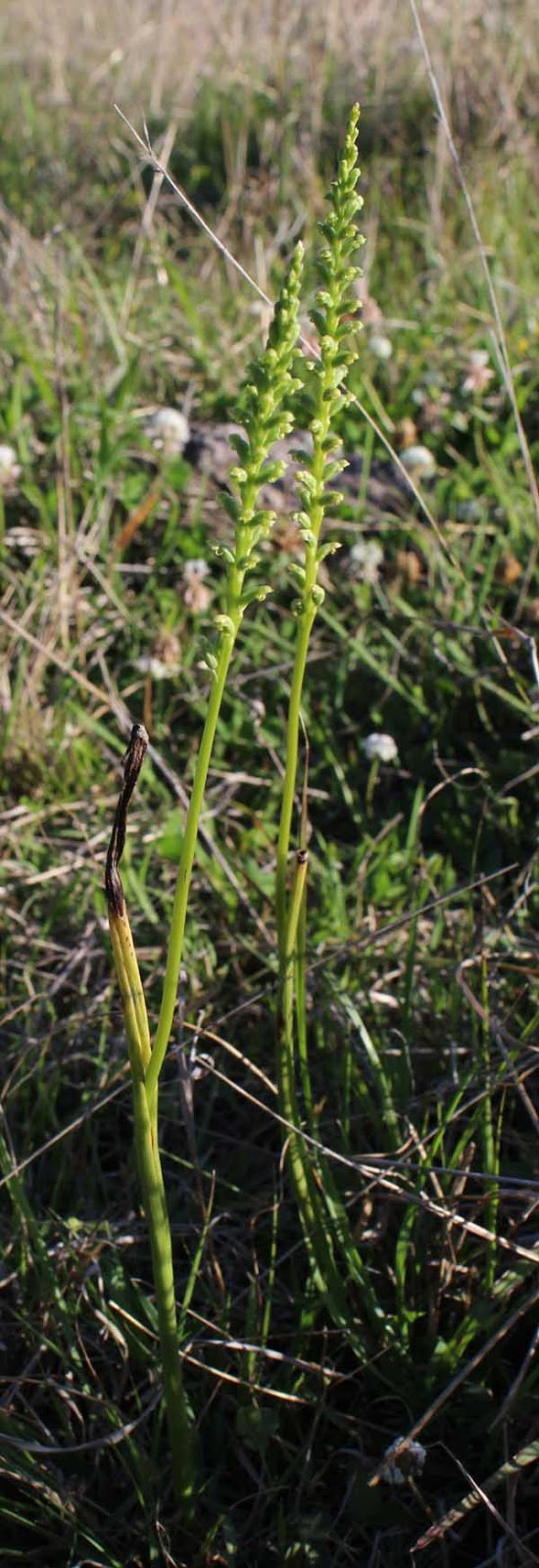 Toowoomba plants slender onion orchid for Soil 1 year mba