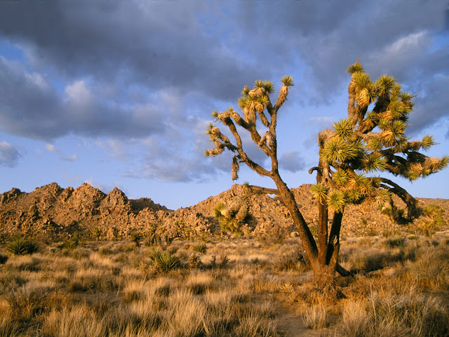 Late Afternoon at joshua tree national park california wallpaper