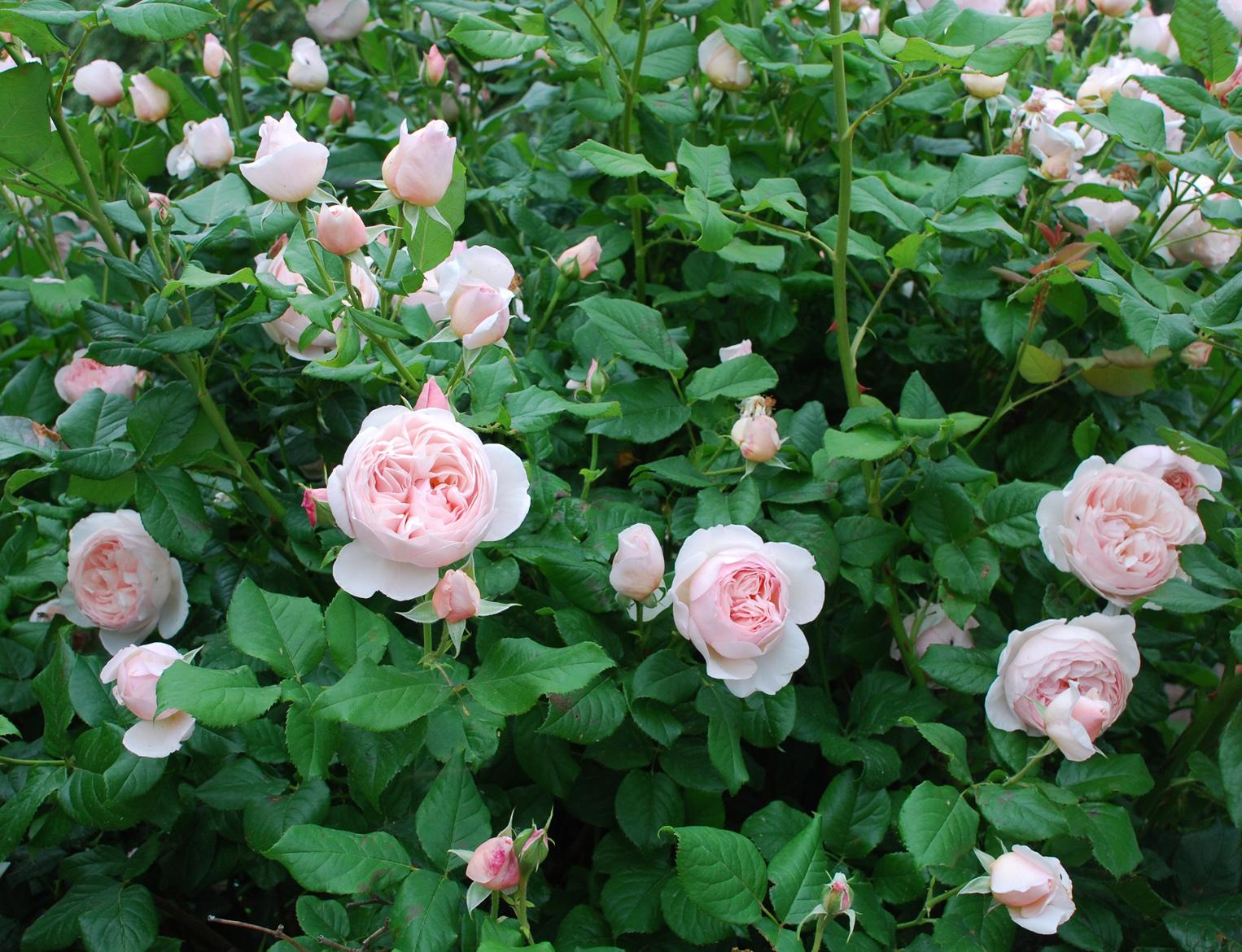 Heritage rose сорт розы фото