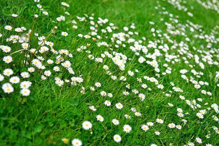 Hình hoa cúc trắng đẹp nhất