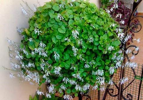 Patricia l pez dise o floral plantas que dan buena suerte - Plantas para la buena suerte ...