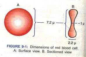 essay on red blood cells