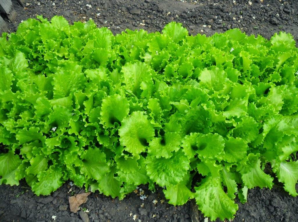 Салат без перекопки
