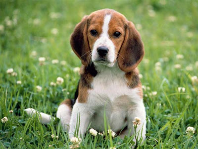 Beagle Dogs