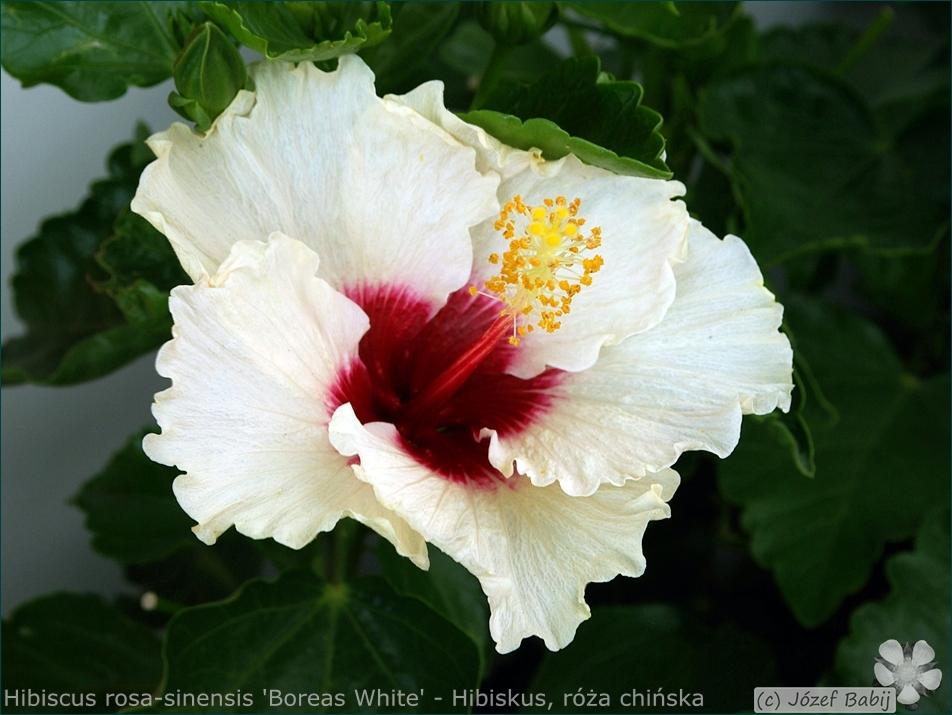 Hibiscus rosa-sinensis 'Boreas White' - Hibiskus, ketmia róża chińska kwiat
