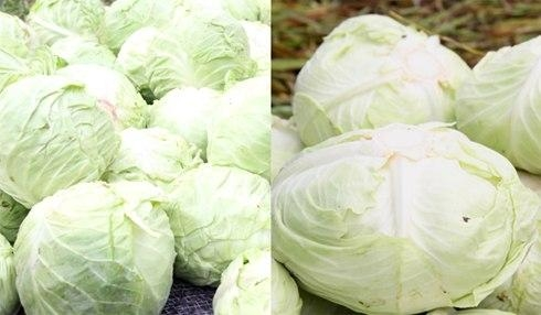 Cách phân biệt bắp cải của Trung Quốc với bắp cải của Việt Nam