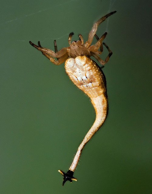 scorpion_tailed_spider.jpg