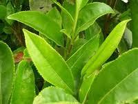 manfaat dan khasiat teh hijau untuk kesehatan tubuh,