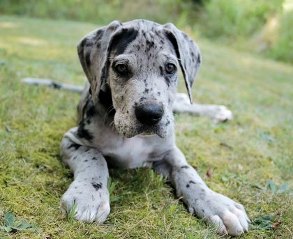 Great-Dane-Puppy-For-Sale.jpg