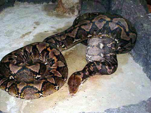 Snake Eating a pig,
