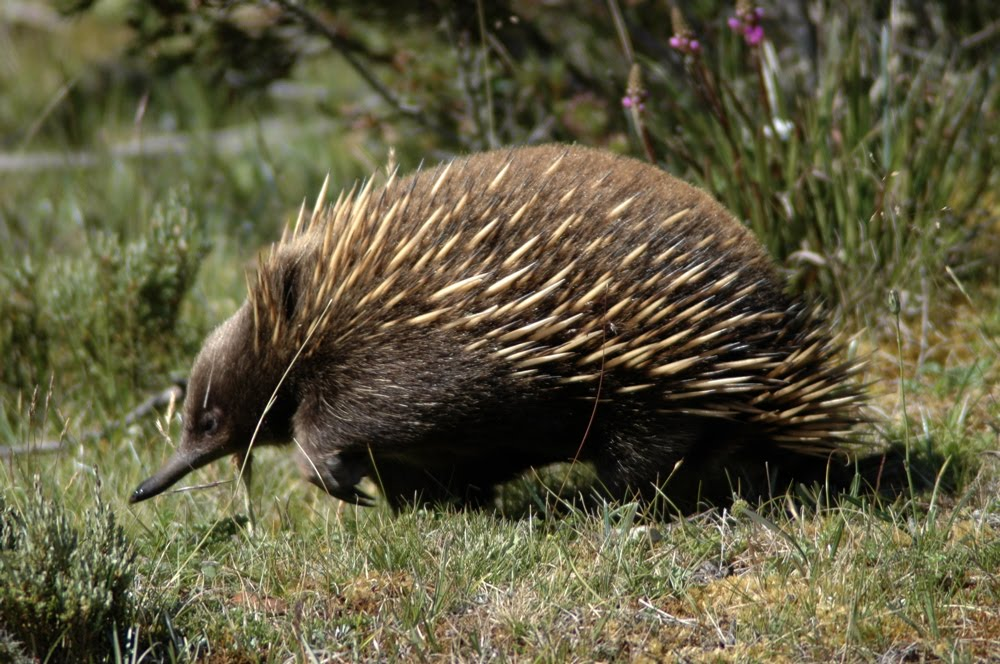 Kingdom Animalia: Short-beaked Echidna