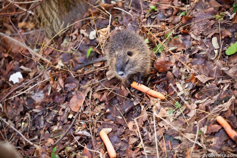 Выдра в городском парке. Otter at the town park. Germany, Leipzig