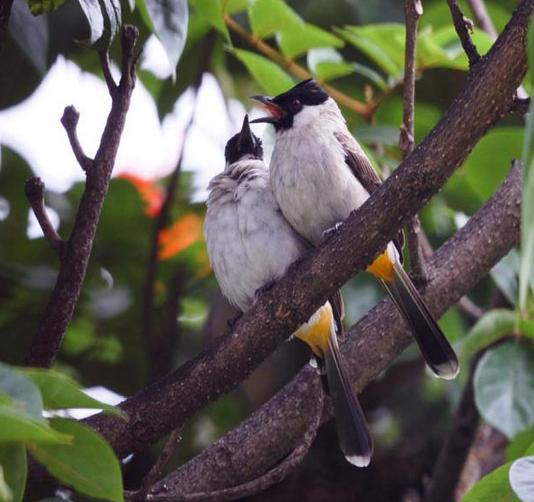 membuat burung kutilang rajin bunyi