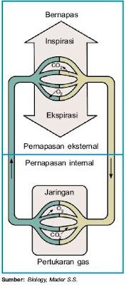 Proses pernapasan internal dan eksternal pada manusia
