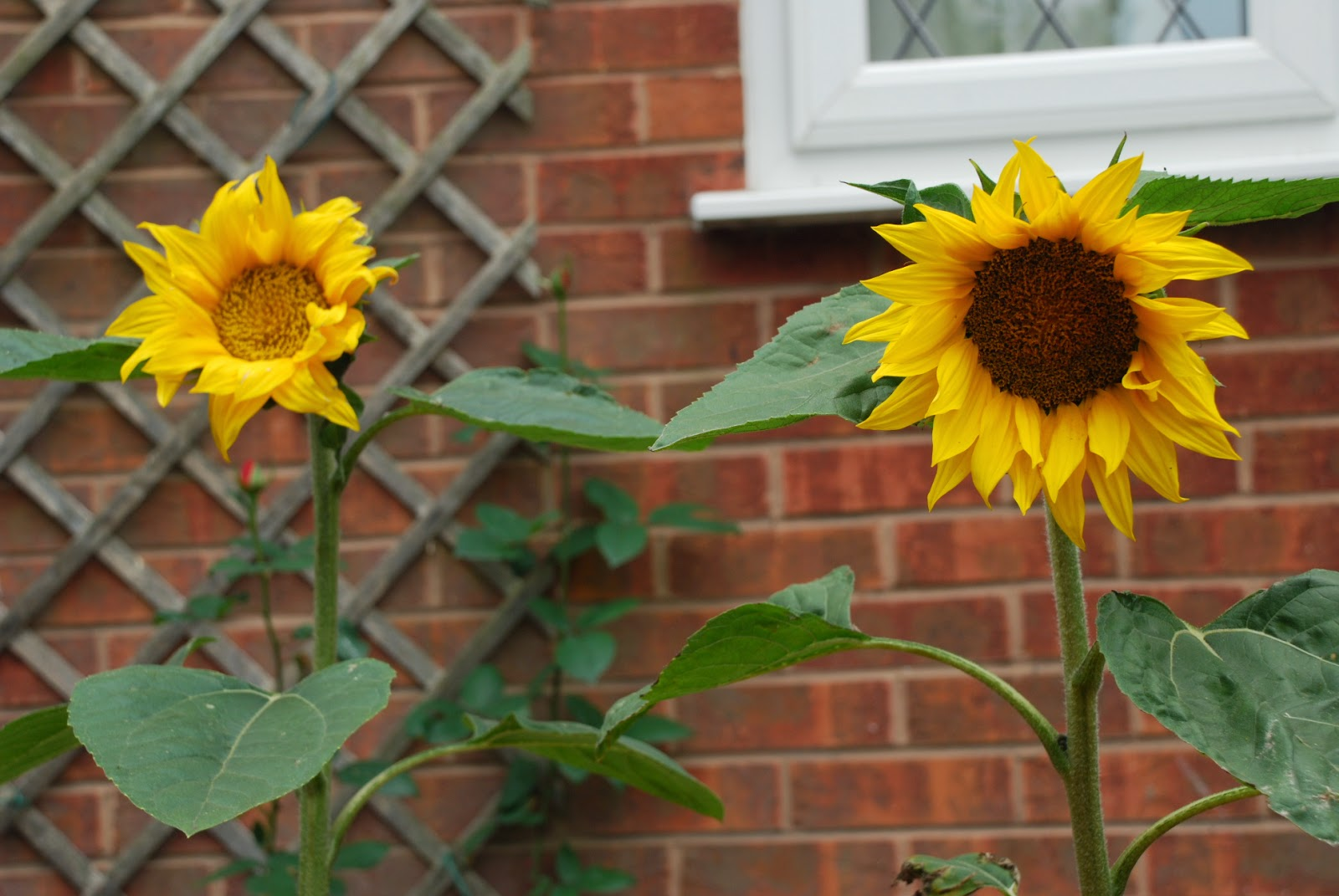 image of two sunflowers