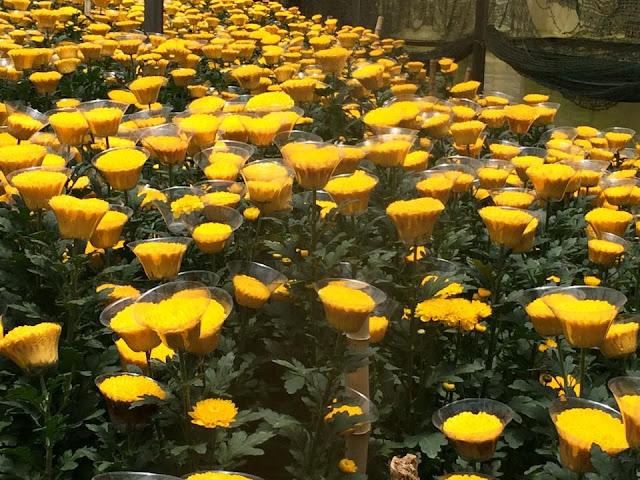hoa cúc chén