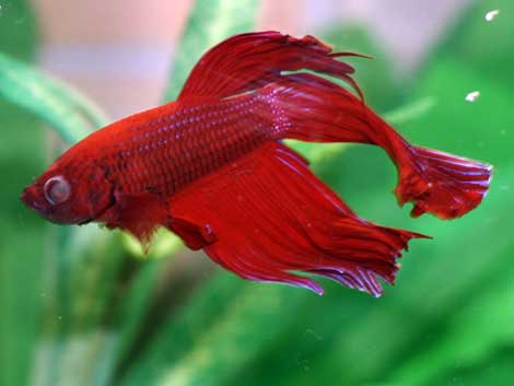 betta disease popeye nice betta