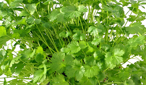 Miracle Herb Coriander - Health Benefits of Superfood Choriander