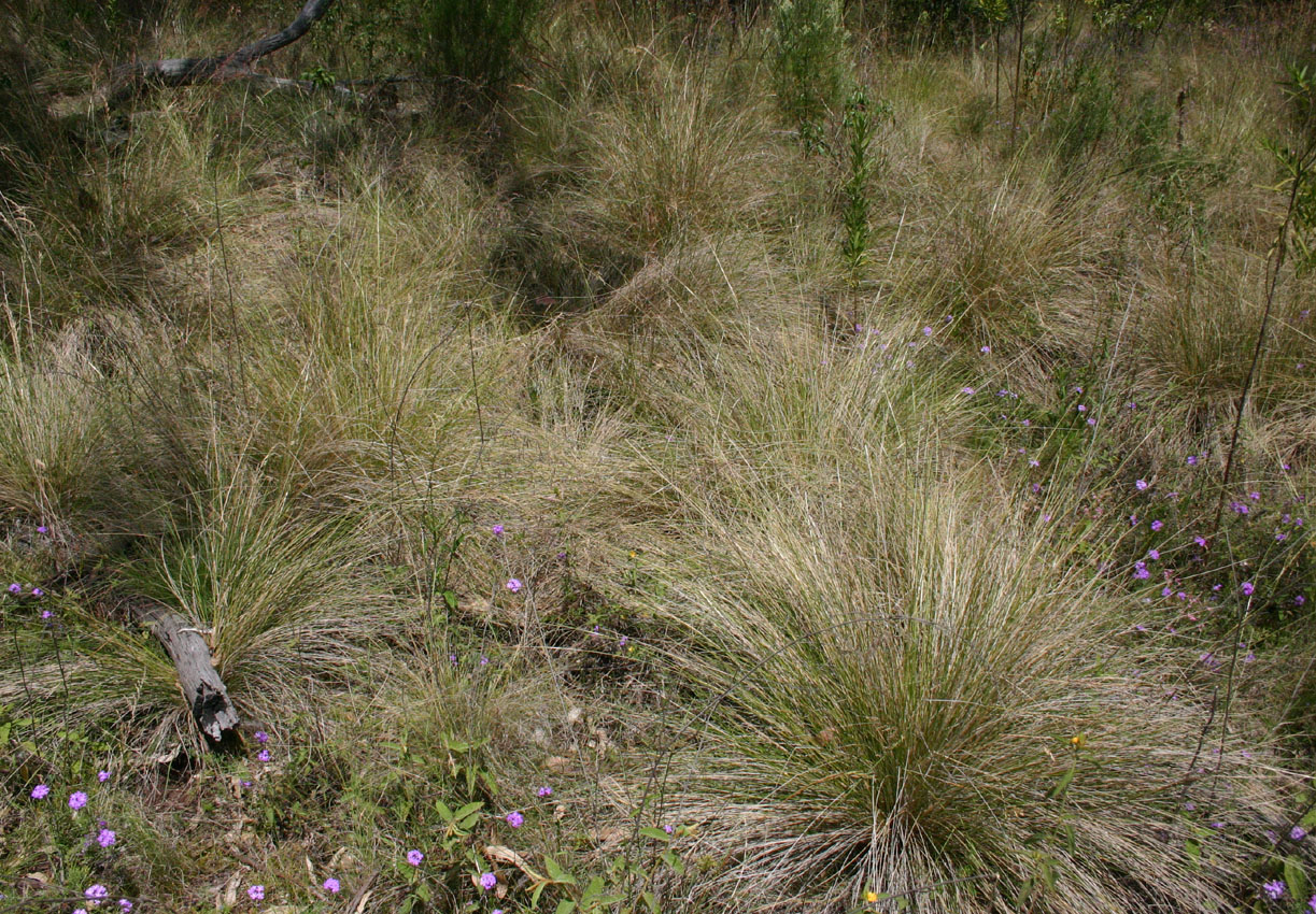 Toowoomba plants common tussock grass for Grass looking shrubs