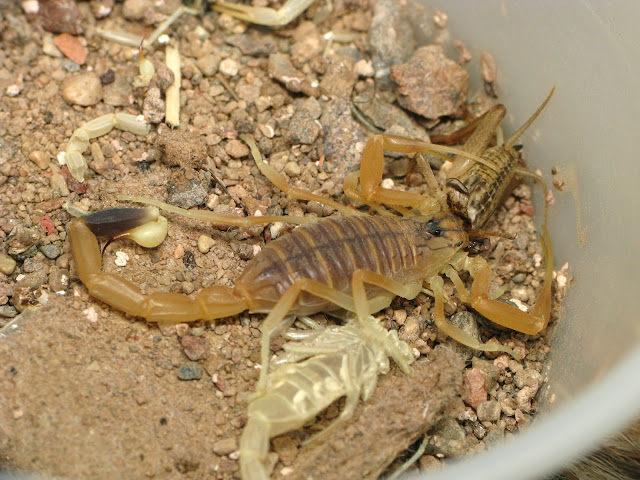 animalia,wild insect,scorpion,wild insect,