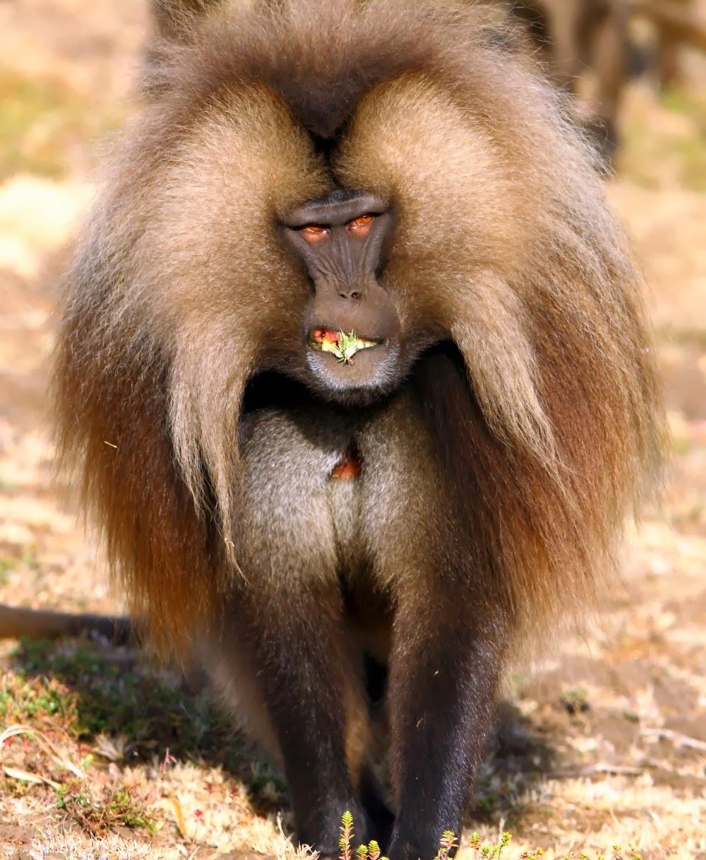 monos humanos