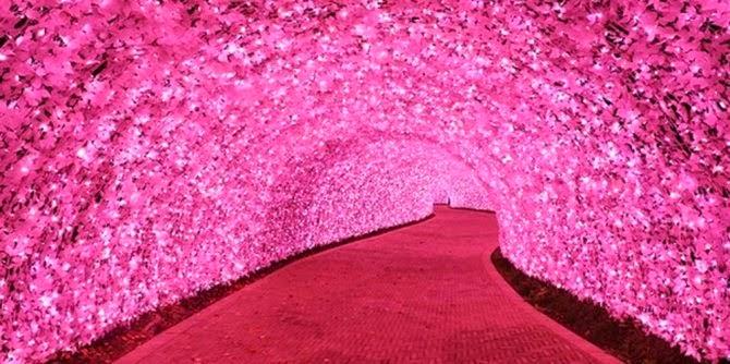 Terowongan Sakura di Taman Nabana no Sato, Nagashima