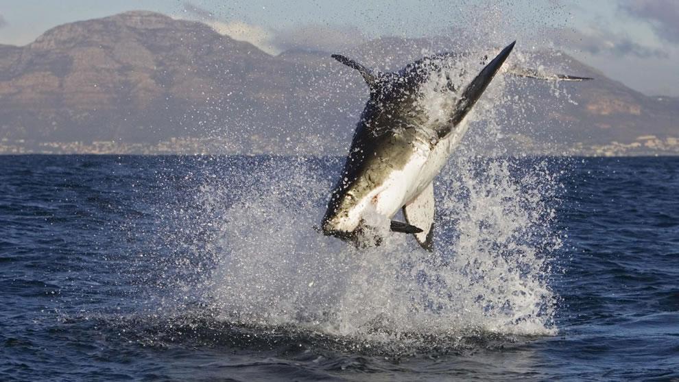 اسماك القرش تحت الماء Great-white-shark-at