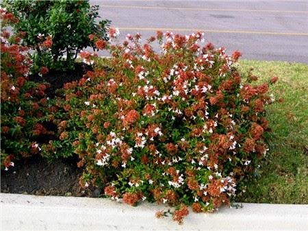 Abelia cultivo cuidados poda y mas verde jard n for Arbustos para jardin con flores