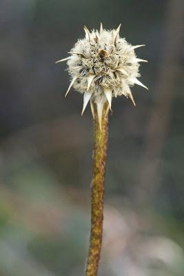 Drumsticks (Dasypogon bromeliifolius)