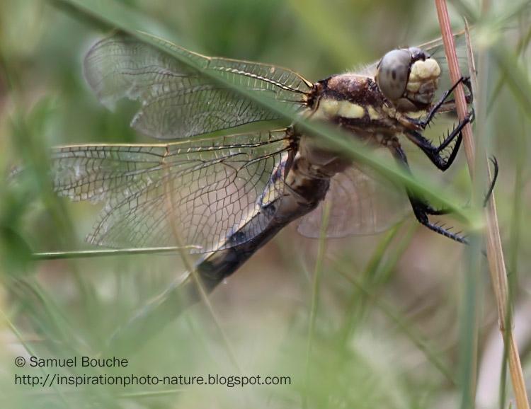 libellule macro