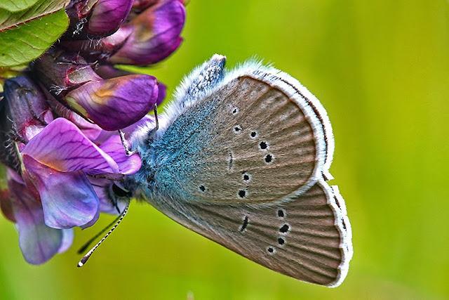 Fotos - Tierfotos - Insekten - Schmetterlinge - Tagfalter - Rotklee-Bläuling - Polyommatus semiargus