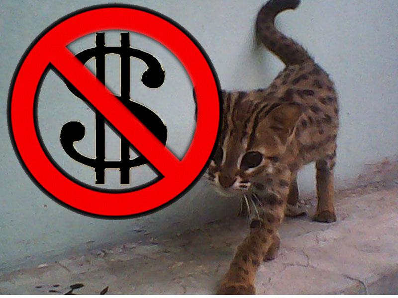 Kucing Blacan Salah Satu Jenis Kucing Yang Dilindungi