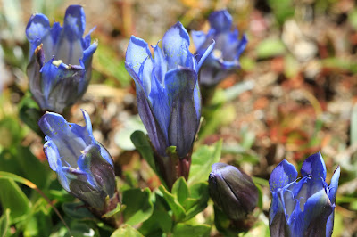 Greeted with Gentian Near Isolation Lake