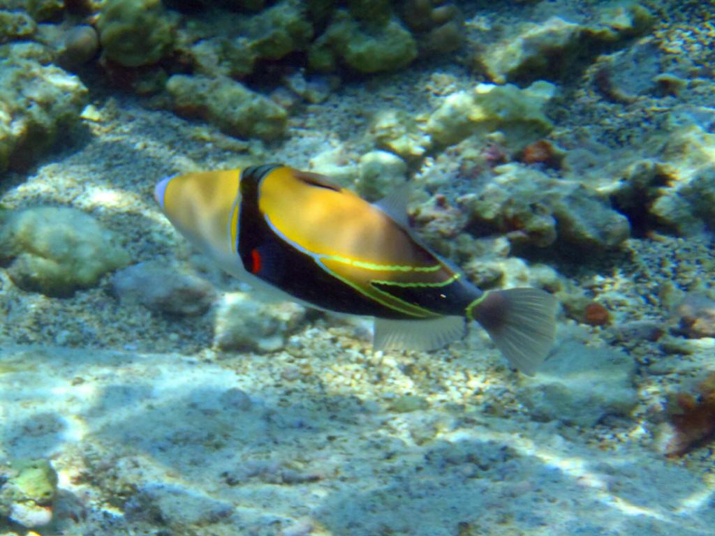 Info junction blog reef triggerfish for Edible hawaiian fish