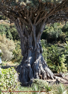 El tronco del drago milenario - The trunk of the thousand-year-old drago
