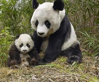 Deskripsi Hewan Panda Yang Lucu