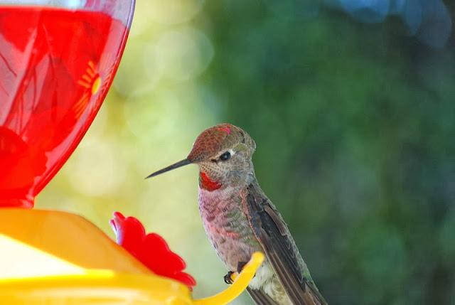 Hummingbird in playful mood