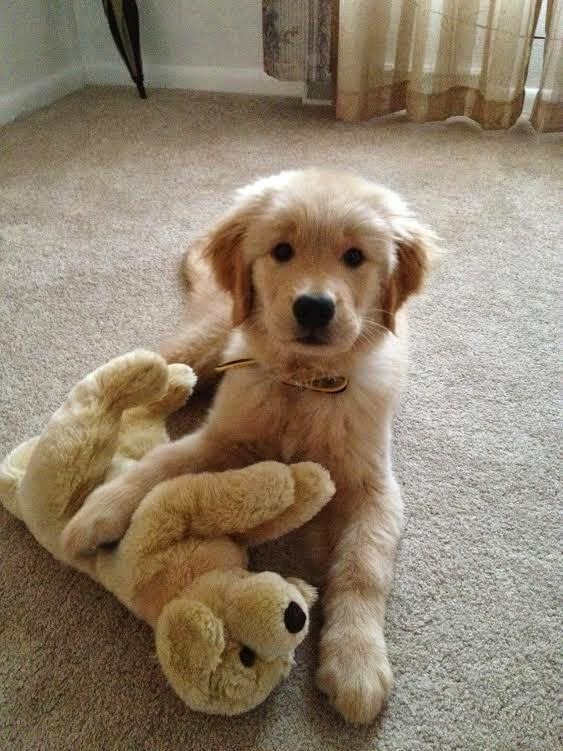 Top 5 Beautiful Golden Retriever Puppies